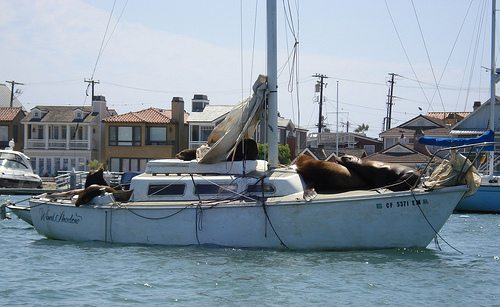 Sea Lions In Newport Harbor